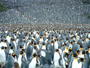 king-penguins-roger-litton