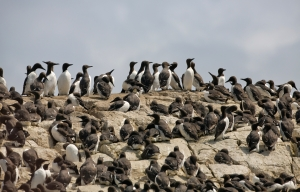 The only crowds on the Farne Islands