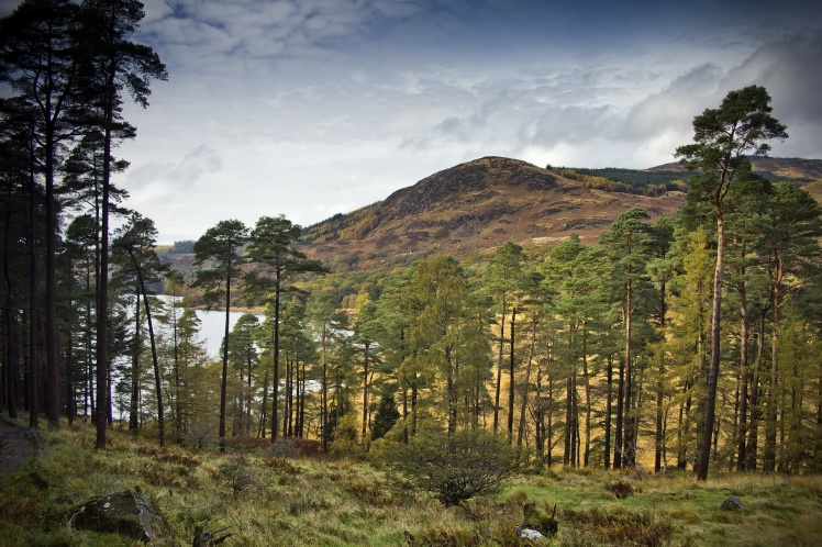 Scots Pines by Loch Trool