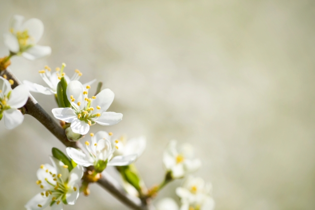 Blackthorn in bloom