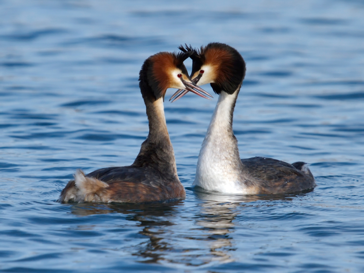 Gorgeous grebes