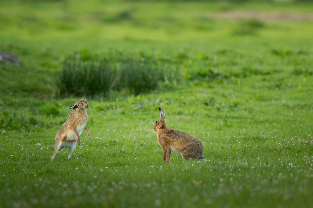 Mad as March hares