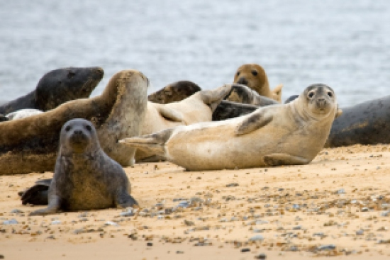 Juvenile common and grey seal pups