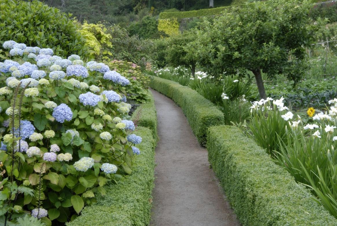 Hydrangeas, Inverewe Garden