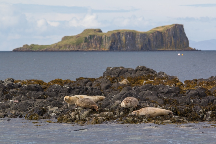 Seals resting on the Isle of Skye