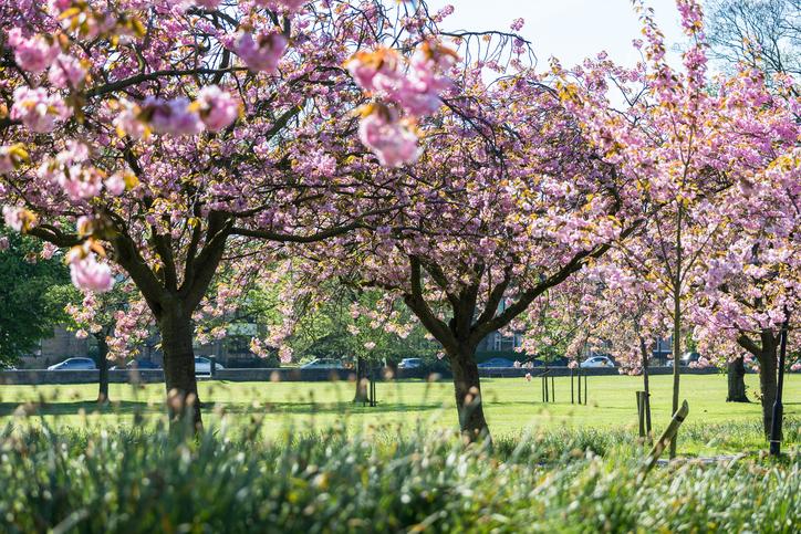 Harrogate Yorkshire England cherry blossom trees in city park