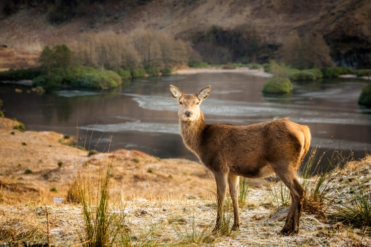 Young red deer in the Scottish Highlands